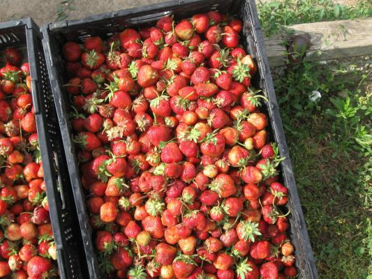 Bins full of strawberries