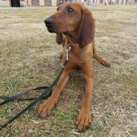 Coonhound puppy on a leash